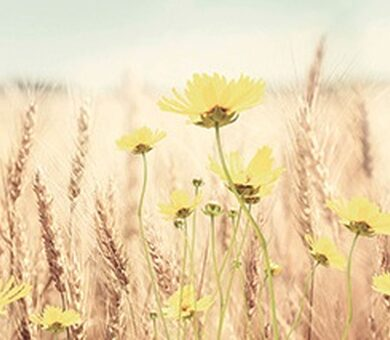 Кухонный фартук ХДФ Пшеничное поле