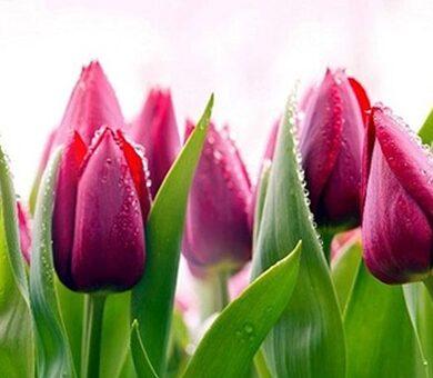 Кухонный фартук ПВХ Тюльпаны